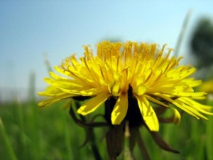 dandelion outside