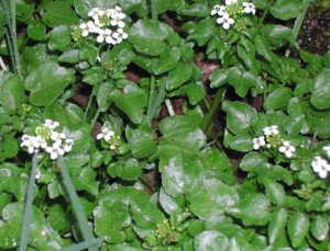 pennsylvania bittercress