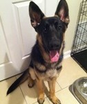 GSD 7 Months Old thumb