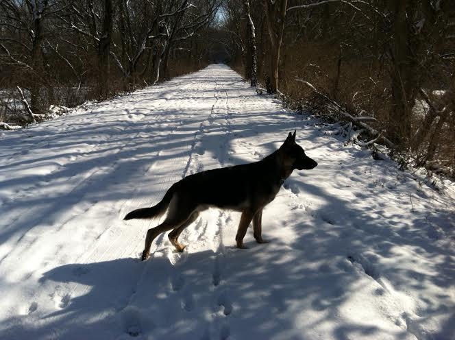 10 month old German Shepherd in the snow